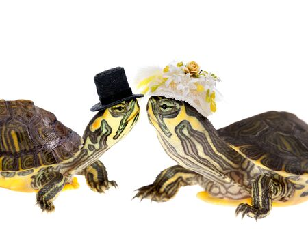 turtles love: Two funny little green turtles in love getting married
