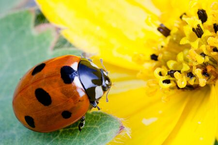 flower ladybug: Detailed macro image of a ladybug on a yellow flower