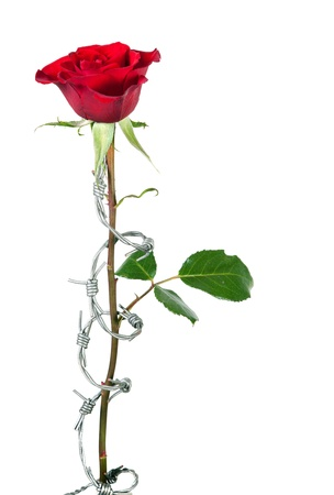 thorns  sharp: Barbed wire curling around the stem of  a red rose Stock Photo