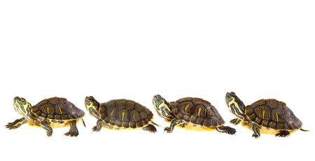 Family of funny green turtles on parade or walking around