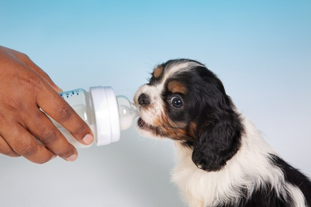 Cute King Charles spaniel puppy drinking milk from a bottle photo