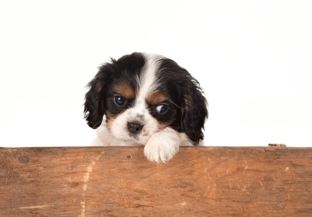 cavalier: Little King Charles spaniel puppy waiting at a wooden fence