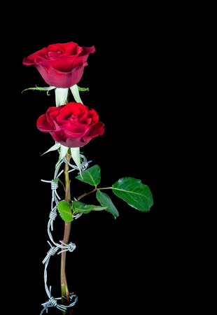 Dangerous love symbolised by barbed wire curling around two roses Stock Photo - 9449385