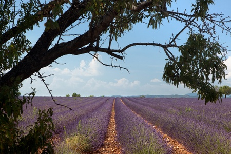 Tree above rows of scented flowers in the lavender fields of the French Provence near Valensole photo