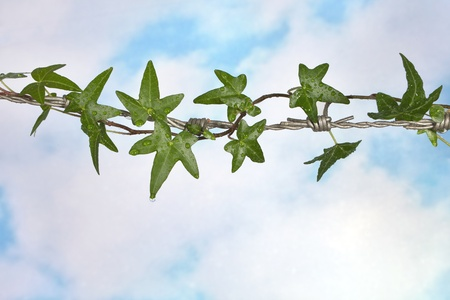 Ivy hiding the sharp spikes of barb wire Stock Photo - 9449416