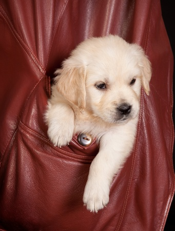 Six weeks old golden retriever puppy in a coat pocket photo