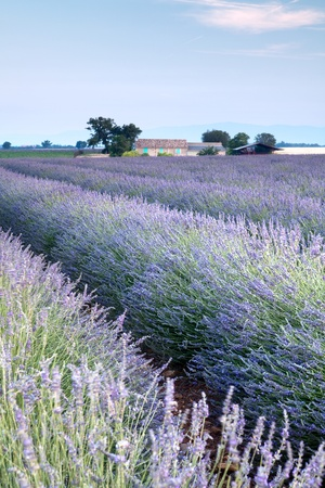 lavendin: Vieuw on rows of scented flowers in the lavender fields of the French Provence near Valensole