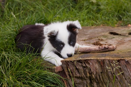 Seven weeks old border collie puppy dog in green meadow grass photo