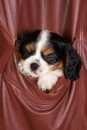 Sleepy 6 weeks old cavalier king charles puppy dog photo