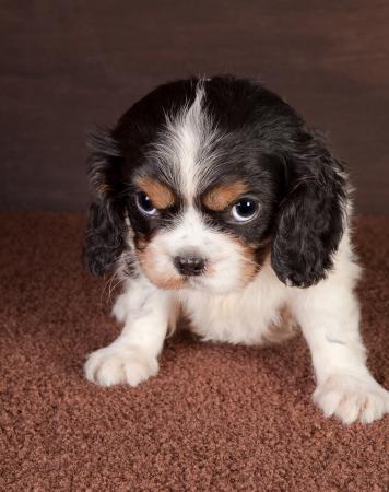 occhi grandi: Re cavalier sei settimane vecchio cane cucciolo charles con grandi occhi