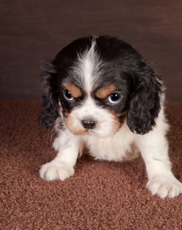 cavalier: Six weeks old cavalier king charles puppy dog with big eyes Stock Photo