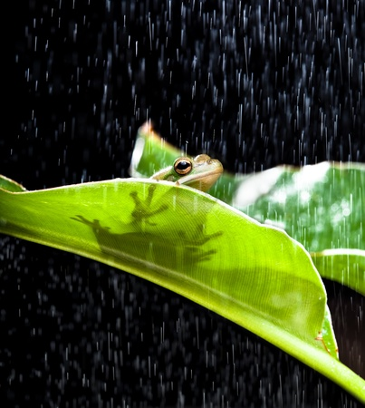 amphibia: Little green tree frog sitting on a banana leaf in the rain