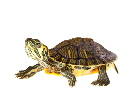 Funny green turtle on parade or walking around Stock Photo