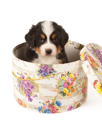 Cute six weeks old Bernese Mountain Dog pup in an antique hat box photo