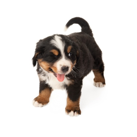 Little Bernese mountain dog winking with his eye Stock Photo - 9776557