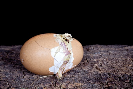 Chicken egg with cracks right before the birth of a little yellow chick Stock Photo - 10059159
