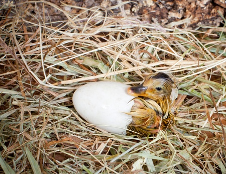 Hatching of a yellow duckling out of his egg photo