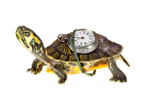 Rolig grön sköldpadda med ett stoppur på ryggen kör som fan