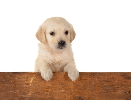 retriever: 6 weeks old golden retriever puppy over a wooden fence