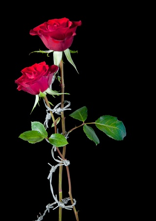 Two roses bound by dangrous barbed wire photo