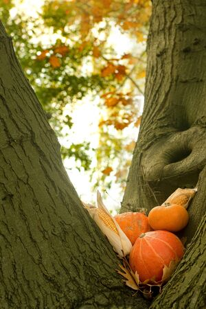 Halloween still life of pumpkins, gourds and corn cobs on an autumn tree trunk in the park