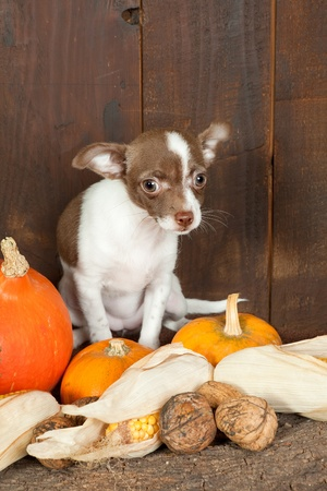 three months old: Halloween picture of a three months old chihuahua puppy dog with pumpkins