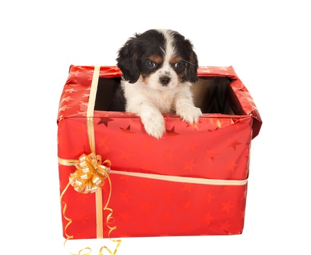cavalier: Cavalier King Charles spaniel puppy sitting in a christmas present