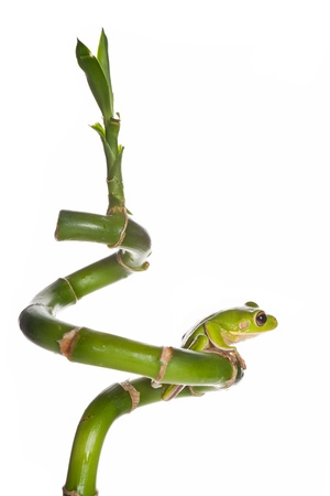 White-lipped tree frog or Litoria Infrafrenata isolated on bamboo branch photo