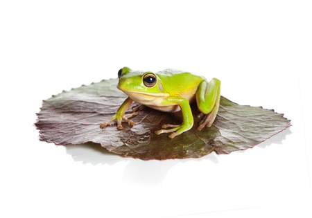 White-lipped tree frog or Litoria Infrafrenata sitting on a leaf