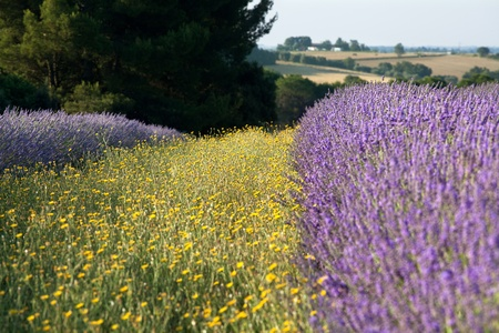 Yellow flowers next to purple lavander in the lavender fields of the French Provence near Valensole photo
