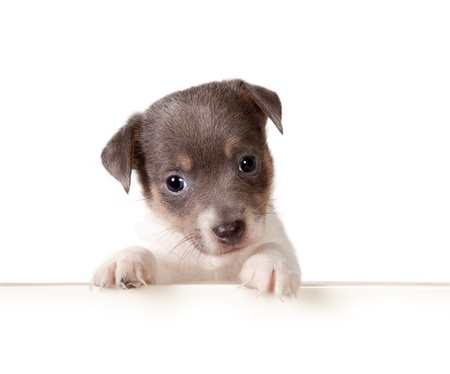 White isolated 6 weeks old jack russel puppy dog photo