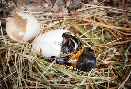 Little hatching duckling paying its last efforts to get out of the egg photo