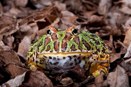 webfoot: Ornate horned frog sitting in dead leaves