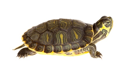 Small young green turtle on a white background