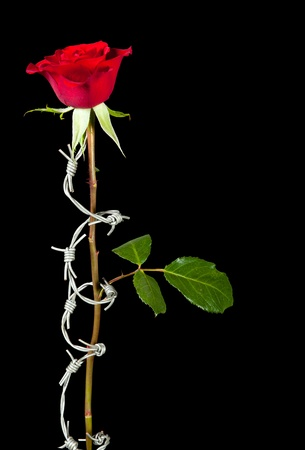 Forbidden love symbolised by barbed wire curling around a rose photo