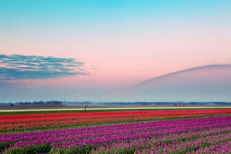 Famous Dutch bulb fields with millions of tulips in Holland being watered in the morning photo