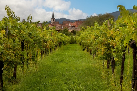 Wine village and vineyards in the Alsace region in France photo
