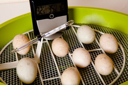 brooder: Eggs in an incubator with wire floor for automatic turning of the eggs