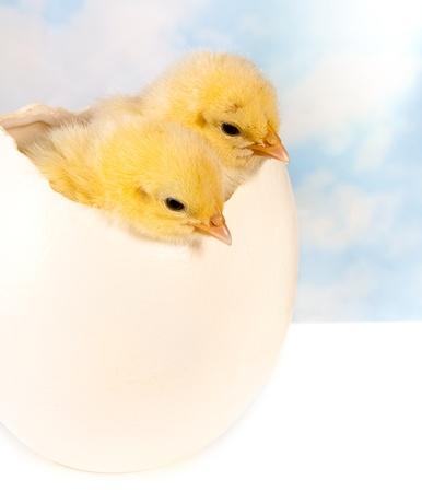 pollitos: Gemelas pollitos de pascua en un gran huevo de avestruz