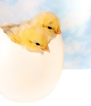 broken egg: Twin easter chicks in a big ostrich egg Stock Photo