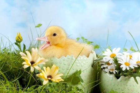 Newborn easter duckling in a flower garden photo
