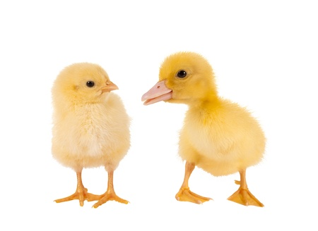 Funny newborn easter chick and duckling on a white background photo