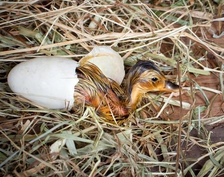 Birth of a yellow little mallard duckling photo