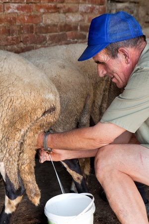 nipple man: Manually milking the sheep the old-fashioned way by a bulgarian farmer