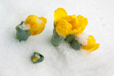 snow flowers: Early growing yellow tulips in the snow
