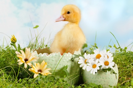 Peeping newborn easter duckling in a daisy garden photo
