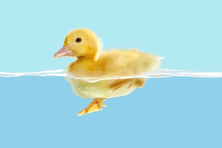 duck: First swim of a little yellow easter duckling  Stock Photo