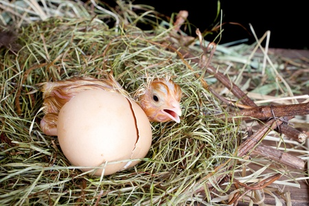 Scared little newly hatched chick hiding behind its egg photo