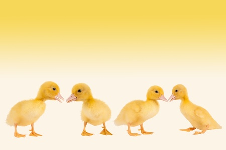 duckling: Border frame image with four newborn easter ducklings Stock Photo