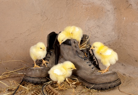 Funny yellow easter chicks climbing on old worn boot photo